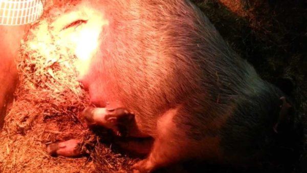Как происходят роды у вьетнамских свиней, как к ним подготовиться и как ухаживать за свиноматкой и поросятами после опороса?.
